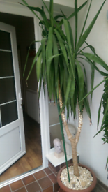 Yukka Plant 8 feet tall