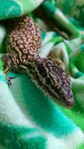 Red Ackie Monitor