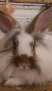 Female Lionhead For Sale