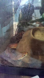 6 foot female cornsnake and tank Prince George British Columbia image 1