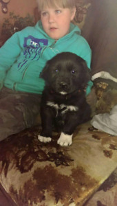 2 Great Pyrenees mixed with Newfoundland puppies for sale