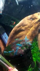 mixed blue cherry /crazy blue shrimps