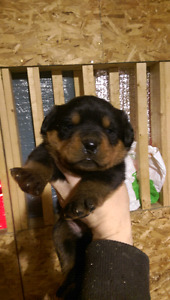 Chiots Rottweiler pure race