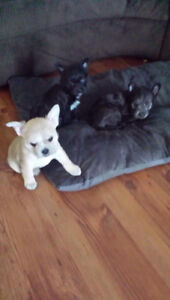 Boston Terrier Mix Yorkie Pups  3 left 2 females 1 male