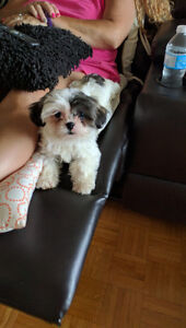Adorable, cuddly 4 month old Female Shih Tzu
