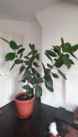 Interior tree in pot