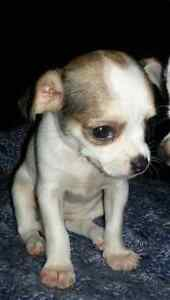 Chihuahua ×Jack Russell/Pug  Puppy
