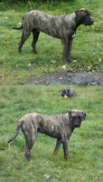 Mastiff - Dogs and Puppy's, for Sale.