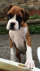 Boxer puppies - home raised and loved