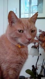 Missing light ginger/apricot male cat NW5 *REWARD*