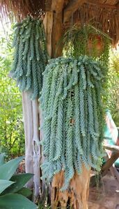 Beautiful and exotic Plant (ideal for hanging)