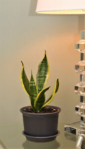 Snake Plant Kijiji In Ontario Buy Sell Save With Canada S 1