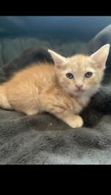 Male ginger kitten ready to go