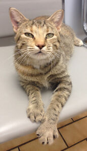 Rescued cat looking for someone with a really big heart! Kitchener / Waterloo Kitchener Area image 8