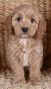 Cockapoo | Adopt Dogs & Puppies Locally in Ontario | Kijiji