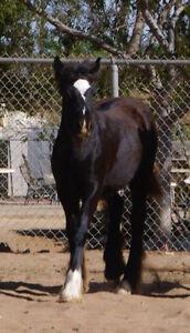Horses 2 gypsy Vanner fillies