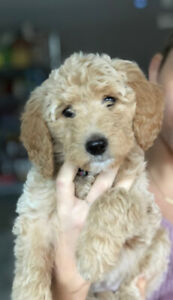Golden Doodle / Goldendoodle puppies for sale