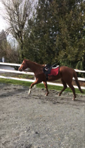 ***Beautiful TB Mare for Sale(Langley)***