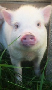 URGENT: 2 Pink Male Mini Pigs for FREE