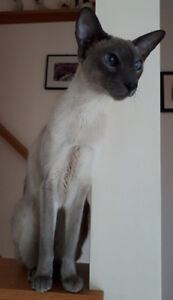 Blue Point Siamese Cat named Tai