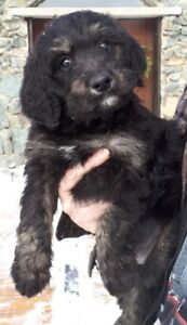 BEAUTIFUL BERNEDOODLE PUPPIES - READY NOW!!!