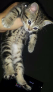 2 cute kittens for sale just in time for xmas Edmonton Edmonton Area image 5
