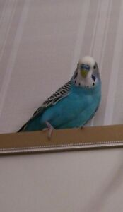 Male Blue Sweet Budgie looking for a new community