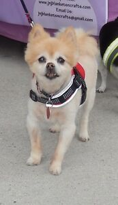 **Adorable Rennie - POMERANIAN cross is available for adoption**
