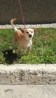 **Sweet Lyndon - CHIHUAHUA cross is available for adoption****