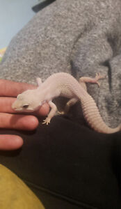 ***REDUCED***ALBINO GECKO WITH ACCESSORIES