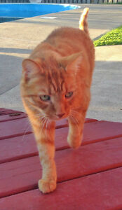 Orange Cat Missing-East Riverside