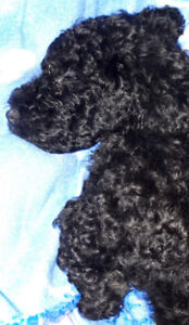 Black Miniature Poodle Puppies born on Canada Day
