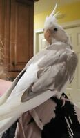 Looking For A Male White-Faced Cockatiel