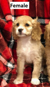 Cockapoo puppies for sale - only 3 FEMALES left
