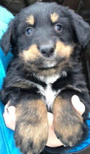 Burnese Mountain-Border Collie Mix Puppies for sale