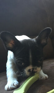 French bulldog puppies ( price reduced )