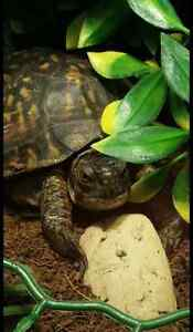 Eastern Box Turtle for sale with suplies (Tortoise)