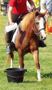 Welsh small pony mare