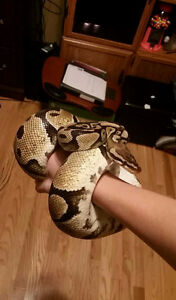 Ball pythons for rehoming