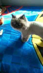 Shanelle: himalayenne blue point chat 3 ans