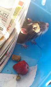 **2 Male Rats (Seperated)** À DONNER/FREE