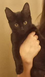 Found Black Kitten