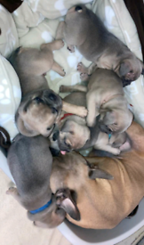 French Bulldog Pups 💙