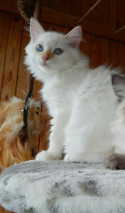 Cool Cats Siberian Kittens