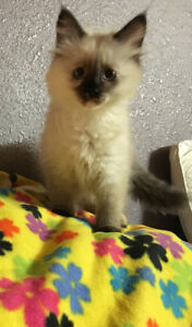 Ragdoll kittens already spayed neutered
