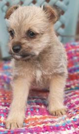 Miniature snowsure Cross pomeranian puppys for sale