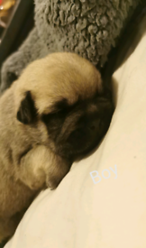 Frenchie x pug/shitzu
