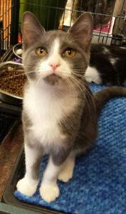 Mallori - rescued grey and white female kitten for adoption