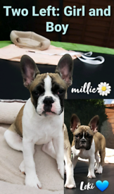 ***Two puppies Left*** Blue French Bulldog