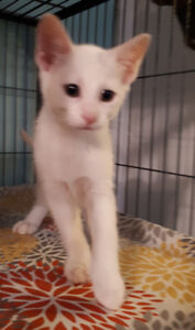 Jerry - rescued white male kitten for adoption